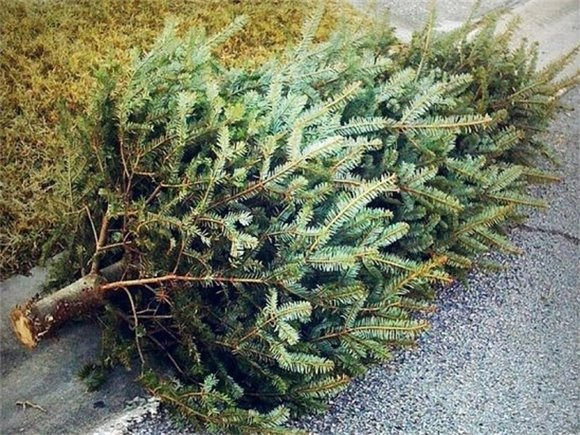 Christmas tree pickup